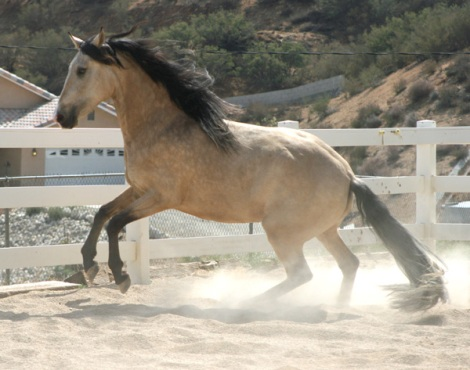 andalusian2