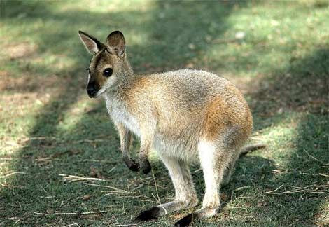 wallaby-baby